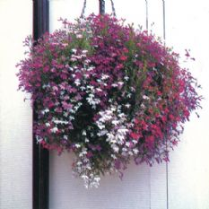 Lobelia Fountain series - various colours - 5000 seeds